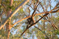 Mount Gravatt, deuxième koala sauvage 10min plus tard, chance énorme !