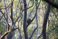 Mount Gravatt, mon premier koala sauvage <3
