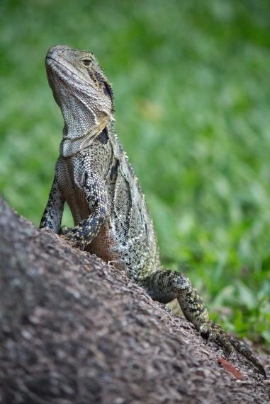 Dragon d'eau australien, Intellagama lesueurii - Botanic Gardens, Brisbane