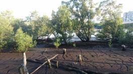 Mangrove en pleine ville, au sud des Botanic Gardens, Brisbane