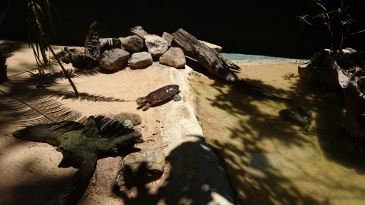 Tortue de la Mary River - Lone Pine Koala Sanctuary, Brisbane