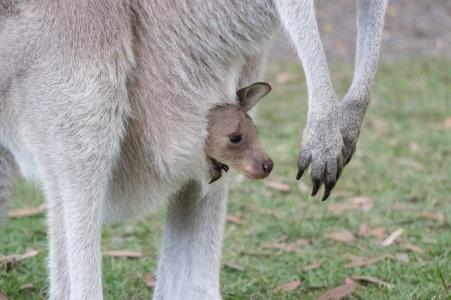 Bébé kangourou géant, Macropus giganteus - Diamond Head, Crowdy Bay National Park