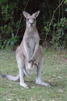 Kangourou géant, Macropus giganteus, avec un truc dans la poche - Diamond Head, Crowdy Bay National Park
