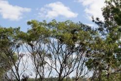 """Très petit extrait d'un nombre incalculable de nids d'aigrettes dans les arbres. Sans exagérer, je pense qu'en tout il y avait au moins une centaine de nids dans ce groupe d'arbres le long de """"l'autoroute""""."""