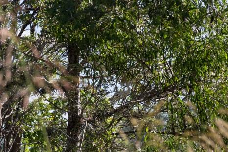 Jeune grande aigrette, Ardea alba modesta, quelque part dans le NSW