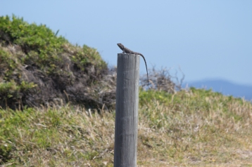Besoin d'aide pour identifier ce lézard. Intellagama lesueurii ? Green Cape Lighthouse, Ben Boyd National Park
