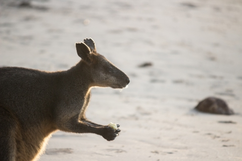 ... car il avait senti un trognon de pomme ! Barmouth beach, Ben Boyd National Park