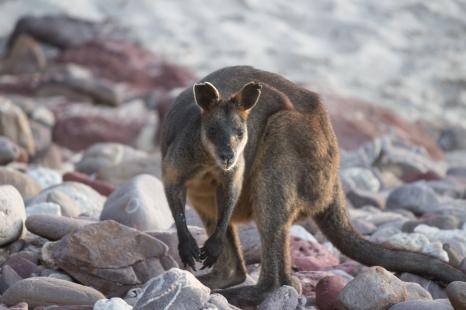 Wallaby assez confiant pour s'approcher...