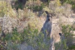 Kangourou à l'oreille cassée - Haycock Point walk, Ben Boyd National Park