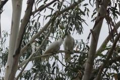 Jeune cacatoès nourri par un adulte, Tidbinbilla Nature Reserve