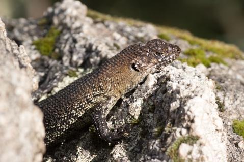 Scinque à langue bleue - Tidbinbilla Nature Reserve
