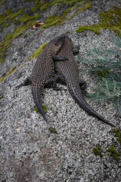 Scinques à langue bleue - Tidbinbilla Nature Reserve
