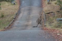 Kangourou géant qui fait la circulation - Tidbinbilla Nature Reserve