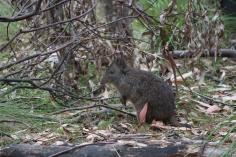 Potoroo à long nez, Potorous tridactylus - Tidbinbilla Nature Reserve