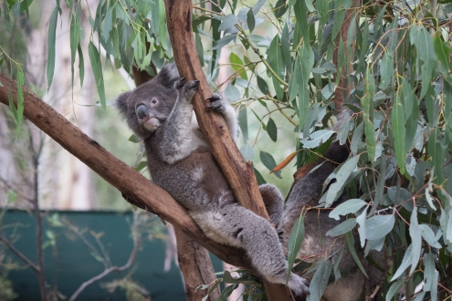 Stretching de koala - Tidbinbilla Nature Reserve