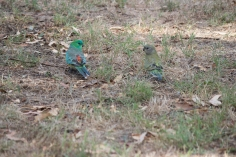 Couple de perruches à croupion rouge, Psephotus haematonotus - Canberra