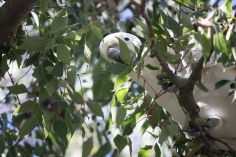 Taille d'arbre façon cacatoès - Canberra