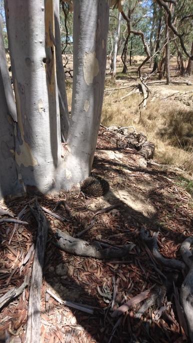 Celui-là n'est pas un des miens, mais joli quand même ! Mulligans Flat Woodland Sanctuary