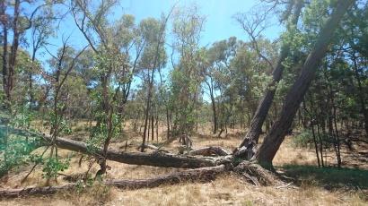 Sous cette énorme souche se cache le premier échidné que j'ai trouvé - Mulligans Flat Woodland Sanctuary