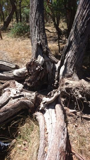 Un échidné ça creuse, et ça se cache bien - Mulligans Flat Woodland Sanctuary