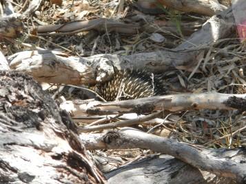 Mon deuxième échidné - Mulligans Flat Woodland Sanctuary
