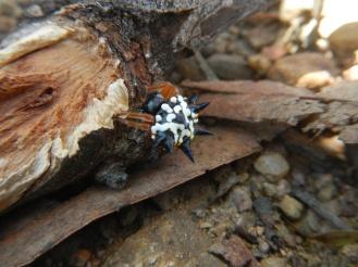 Minuscule araignée inoffensive, Austracantha minax - Mulligans Flat Woodland Sanctuary