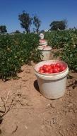 Il faut faire le tri pour prendre seulement les tomates mûres et non pourries !