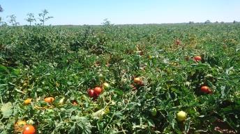 Champ de tomates. Les plants sont très bas, la photo est prise assise