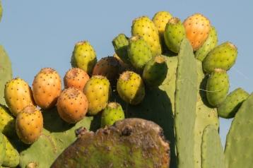 Figues de Barbarie. Pour les cueillir quand elles sont aussi haut, une seule solution : rentrer dans le cactus - Glenrowan, Victoria