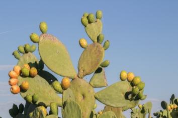 Les figues sur leur cactus. Épines, épines, épines ! Glenrowan, Victoria
