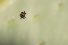 Austracantha minax, la même que lors de la battue aux échidnés - Glenrowan, Victoria