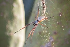 Nephila edulis - Glenrowan, Victoria