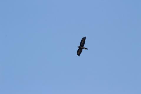 Aigle d'Australie, Aquila audax - Glenrowan, Victoria
