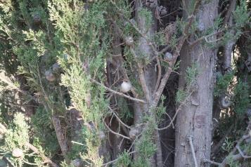 Mérion superbe, Malurus cyaneus, femelle - Glenrowan, Victoria