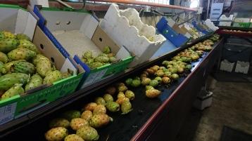 Prickly pears packing - Glenrowan, Victoria