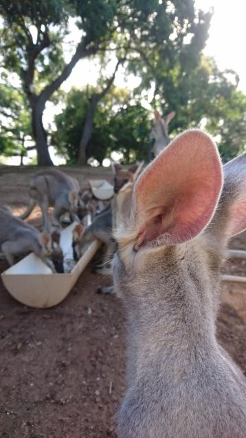 Luca qui essaye d'apprendre ce qu'est un wallaby, Quoin Island
