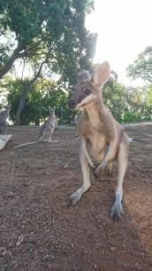 Wallaby de Parry, Macropus parryi, Quoin Island