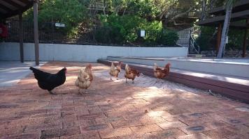 Les poules en vadrouille...