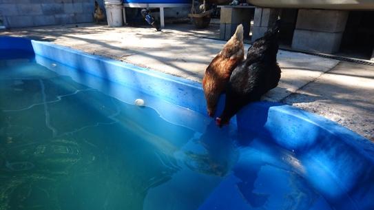 Les poules vont aussi voir les tortues, Quoin Island