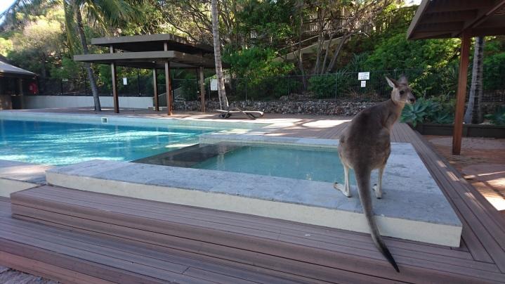 Kangourou géant au bord de la piscine, Macropus giganteus, Quoin Island