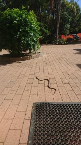 Serpent vert arboricole qui prenait le soleil devant la porte, Dendrelaphis punctulatus, Quoin Island