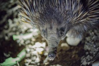 Échidné à nez court, Tachyglossus aculeatus, Quoin Island