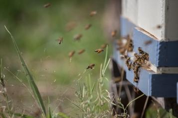 Ça travaille dur chez les abeilles. Murrnong, Violet Town
