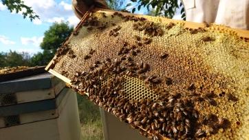 Récolte du miel, Murrnong, Violet Town