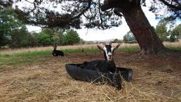Dans la ferme où vit le potentiel père des futurs chevreaux, on préfère dormir dans la gamelle