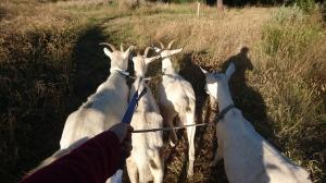 Sortie des chèvres au lever du soleil, Murrnong, Violet Town
