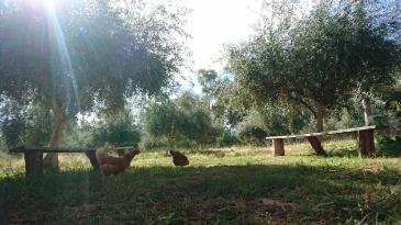 Les poules devant le champ d'oliviers. Murrnong, Violet Town