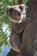 Koala, Phascolarctos cinereus, Victoria