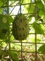 Concombre africain à épines, Murrnong, Violet Town