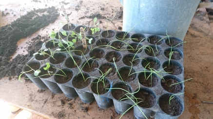 Préparation des plants pour l'hiver, Murrnong, Violet Town